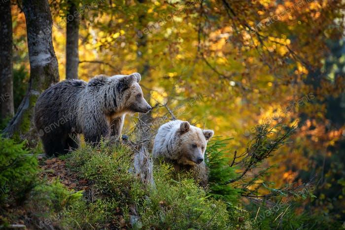 Braunbär im Herbstwald