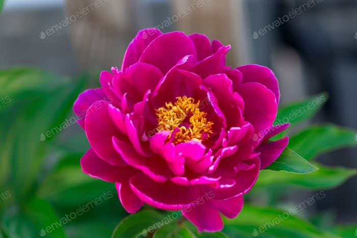 Dark pink peony flower growing in the garden, horizontal, closeup