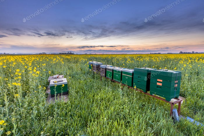 Beehives in a rapeseed field