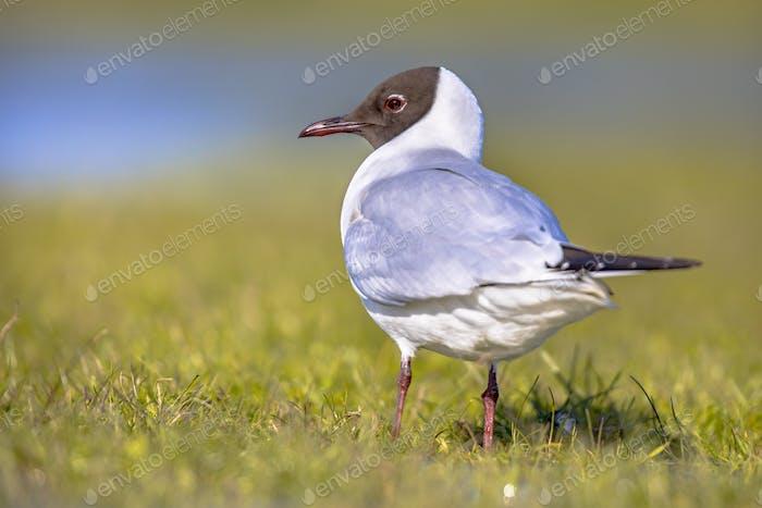 Black-headed gull bird in wetland