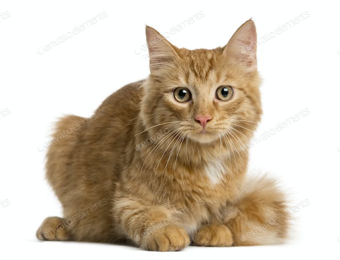 Maine Coon kitten lying in front of a white background