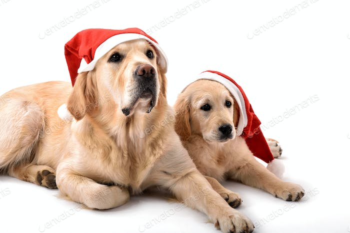 Two golden retriever dogs with Santa Claus hats