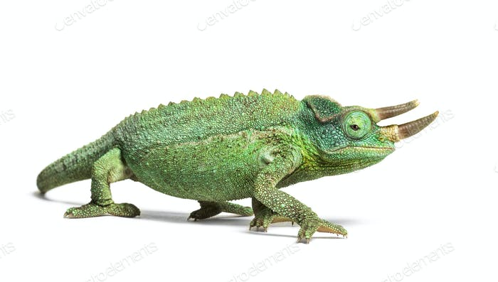 Jackson's horned chameleon walking, Trioceros jacksonii