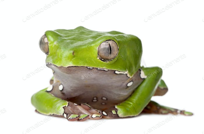 Giant leaf frog, Phyllomedusa bicolor, sitting in front of white background, studio shot