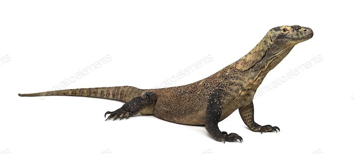 Komodo Dragon, isolated on white