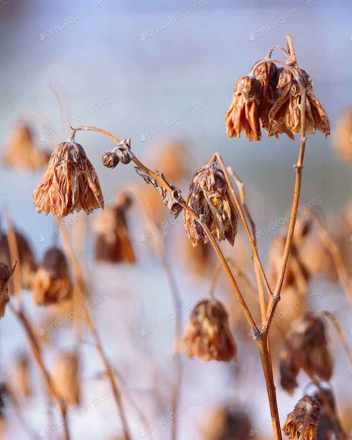 Dried flowers on a background sunset