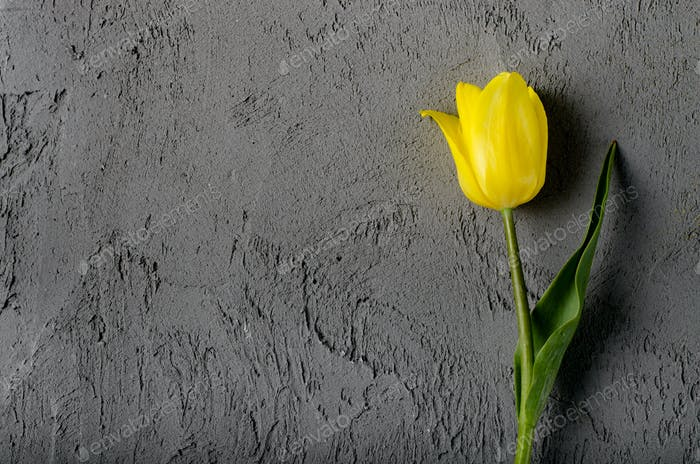 Yellow beautiful tulips on grey background with space for text