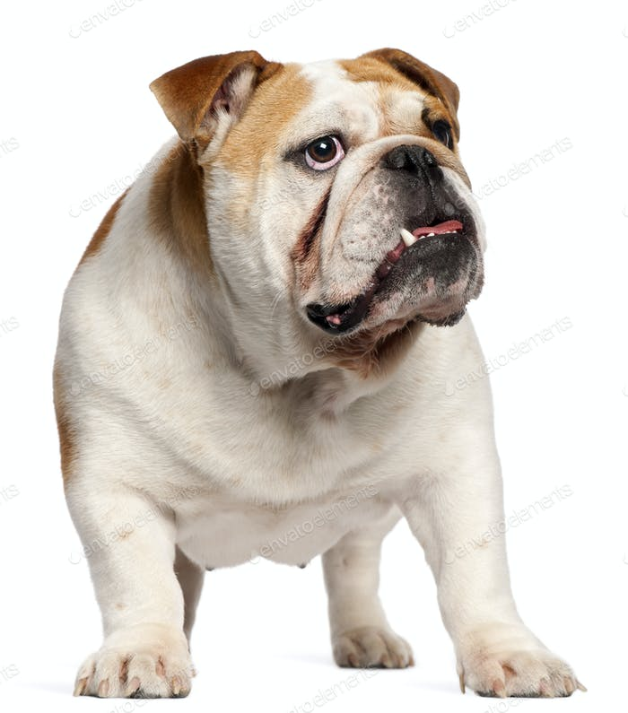 English Bulldog, 11 months old, standing in front of white background