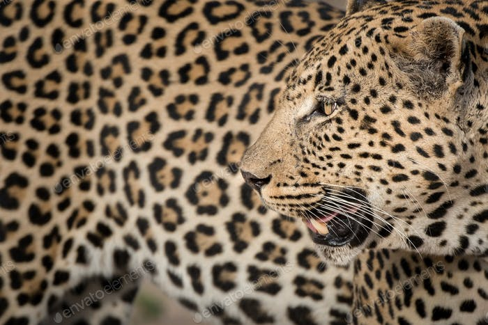 A leopard's head, Panthera pardus, looking away over shoulder, mouth open, rosettes on fur coat,