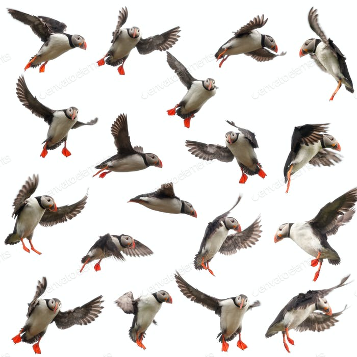 Collection of Atlantic Puffin