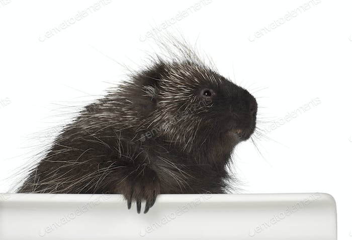 North American Porcupine, Erethizon dorsatum, also known as Canadian Porcupine or Common Porcupine