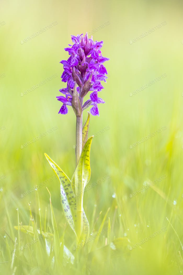 Bright Colorful orchid on Wadden island