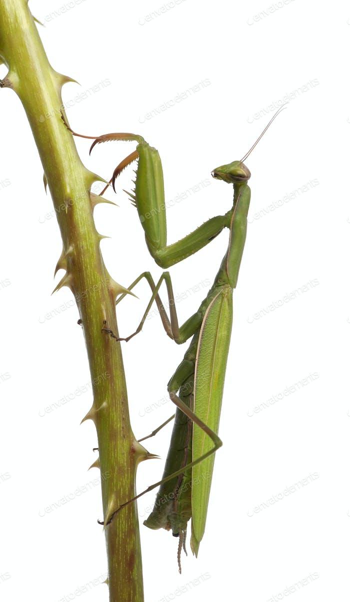 Female European Mantis or Praying Mantis, Mantis religiosa