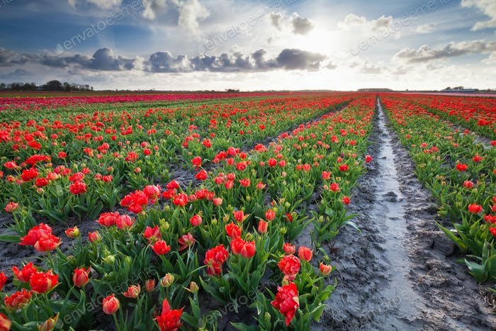 sunshine over red tulips field