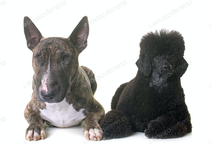 black dwarf poodle and bull terrier