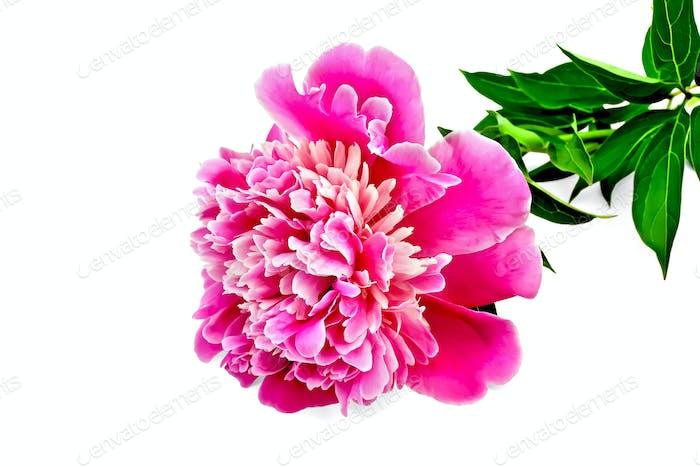 Pfingstrose rosa mit grünen Blättern