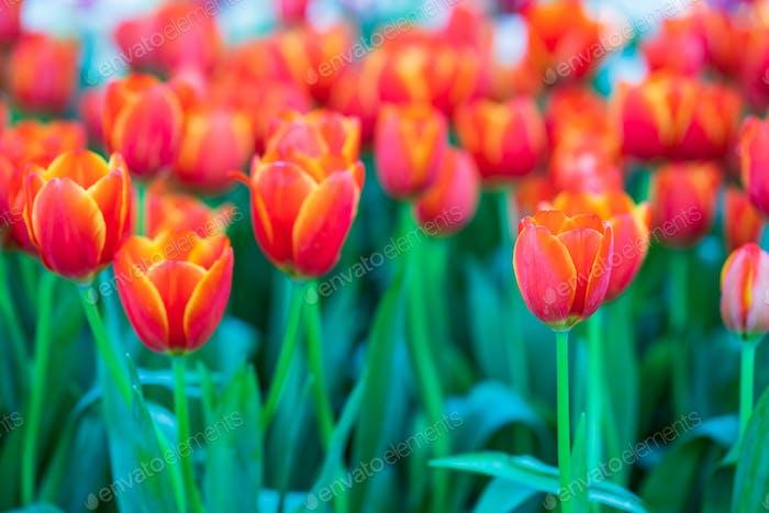 Red tulips in garden-4