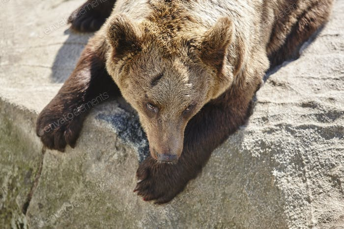 Brown bear sitting on a rock. Wildlife environment. Animal background