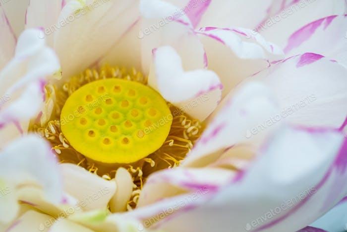 lotus flower stamen closeup, natural details