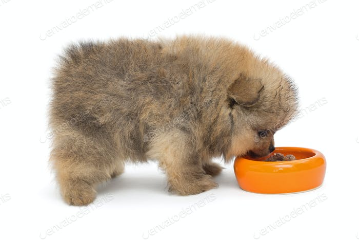 Little Pomeranian puppy eating