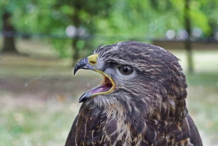 Portrait of common buzzard (Buteo buteo)