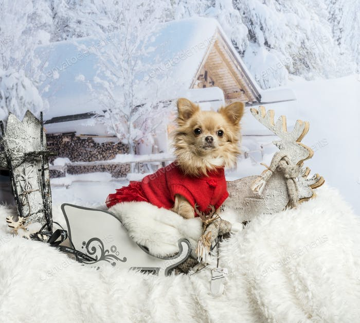 Chihuahua in red dress sitting in sleigh against winter scene