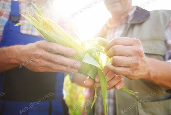 Close up of corn crop