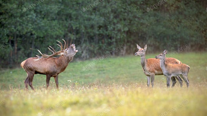 Red deer herd in rutting season with stag bellowing