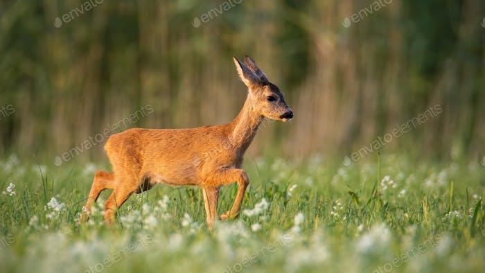 Roe deer fawn walking on a meadow with wildflowers