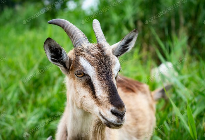 Domestic goats wearing collars eating grass in countryside