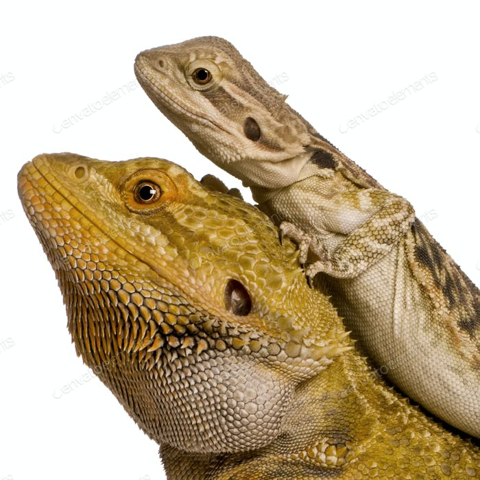 Side view of two Lawson's dragons, Pogona henrylawsoni, against white background