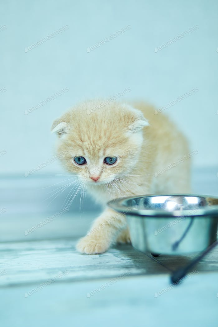Cute little british kitten and bowl with food at home.