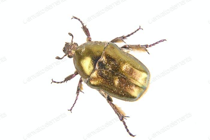 Beetle (Potosia cuprea) on a white background