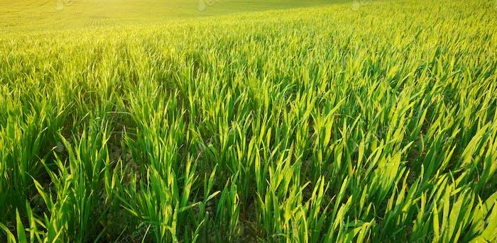 Grünes Gras Textur.