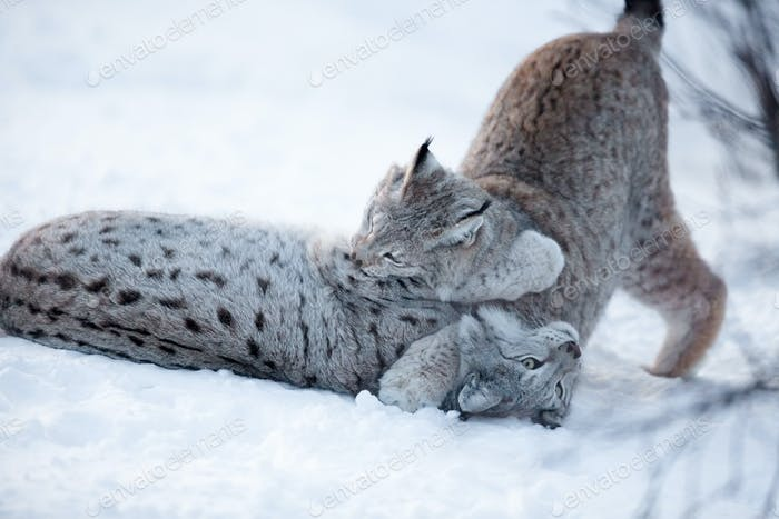 Two lynx playing in the snow