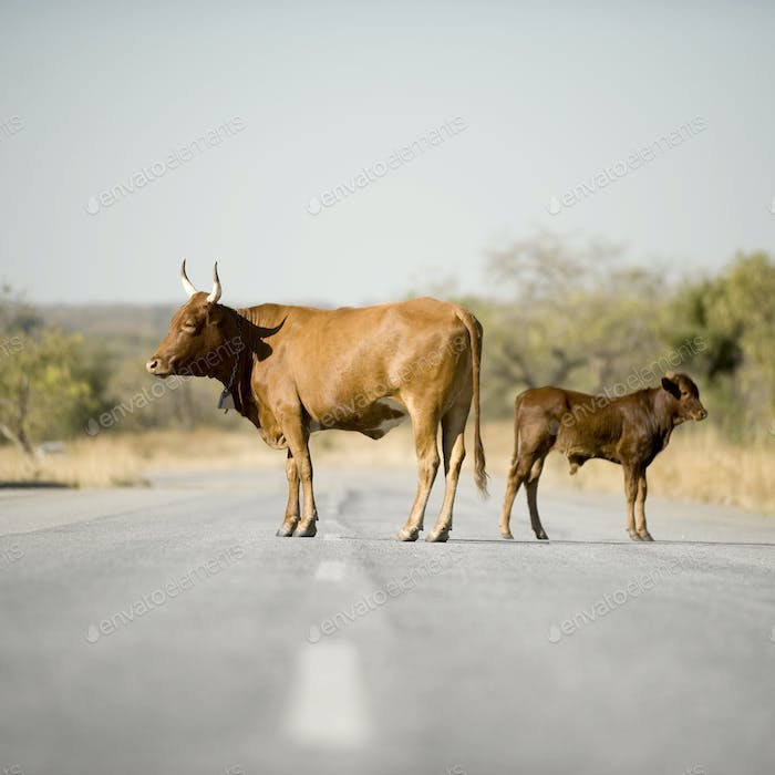 Cow on the middle of the road