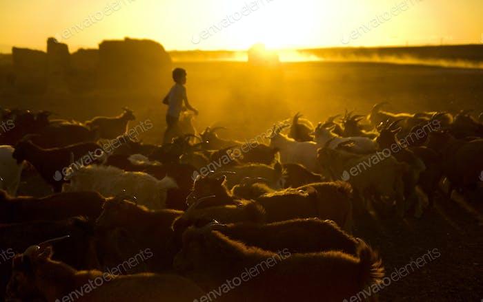 Little Boy Herding Ziegen in der Abenddämmerung