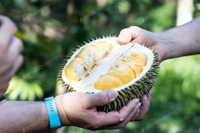 Hand holding freshly harvested organic durian with delicious yellow flash