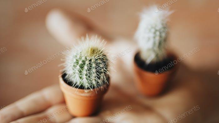 Tiny cacti babies