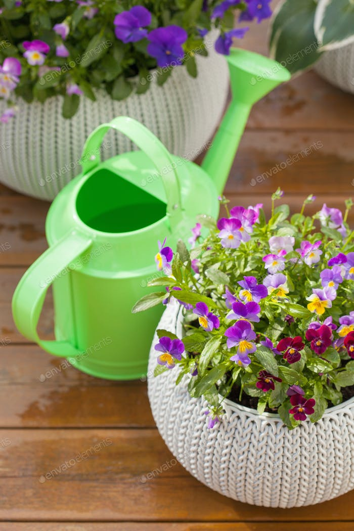 beautiful pansy summer flowers in flowerpots in garden, watering