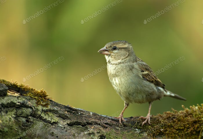 Young yellowhammer (Emberiza citrinella) in the spring morning