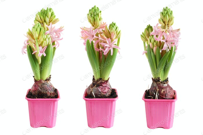 Growing hyacinth
