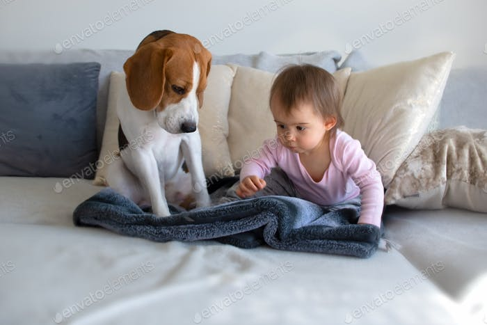 Dog with a cute baby girl on a sofa. Beagle sitting next to cute baby girl on blanket in living room
