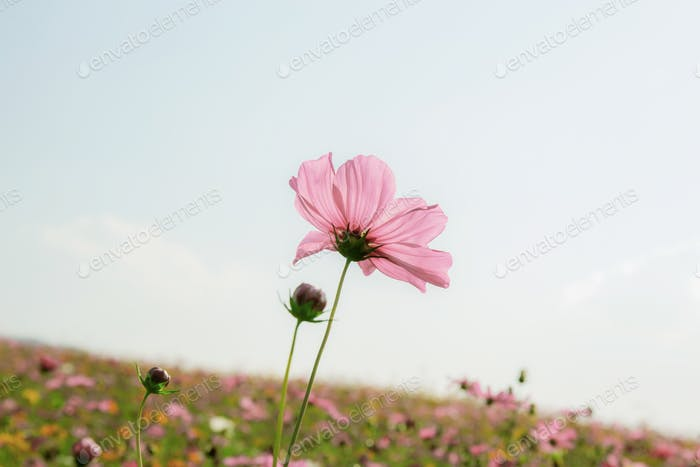 Pink cosmos on field at sky