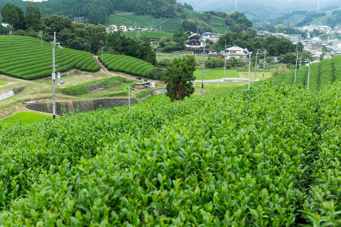 Tea plantation in Japan
