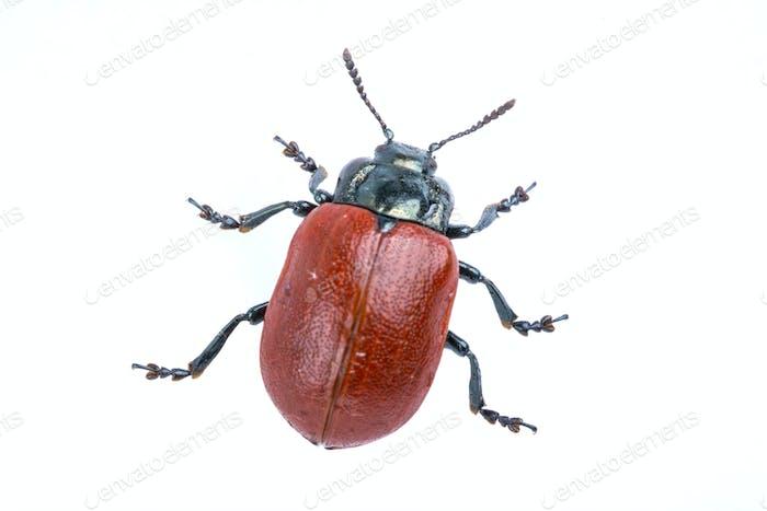 Escarabajo rojo sobre Fondo blanco de la familia Chrysomelidae