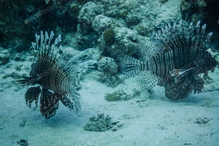 Lionfishs swimming at the ocean ground.