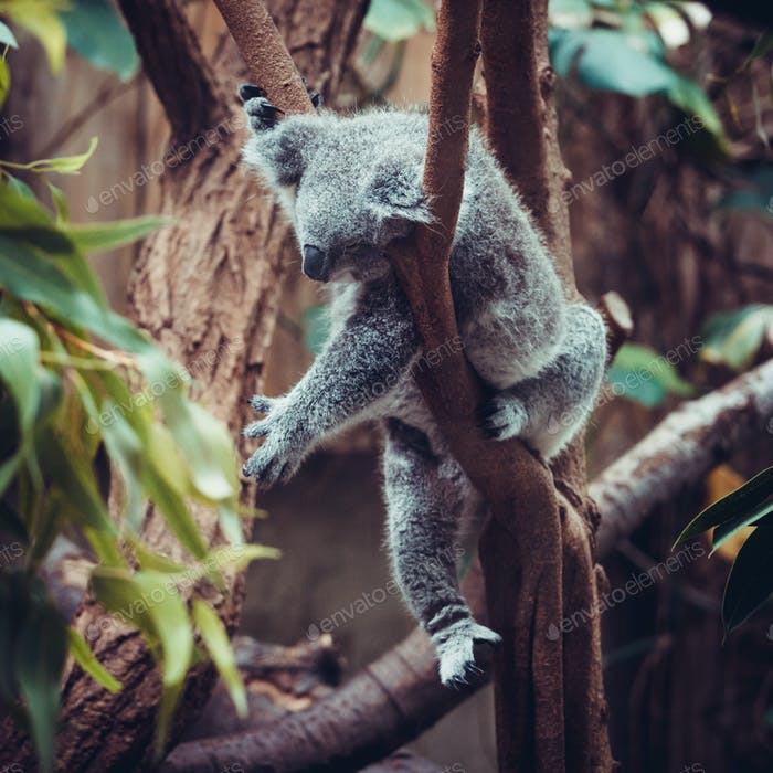 Australian Koala Bear sleep on a tree trunk. Koala relaxing on A