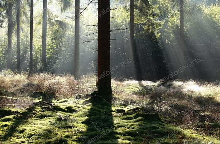 beautiful light in foggy coniferous forest