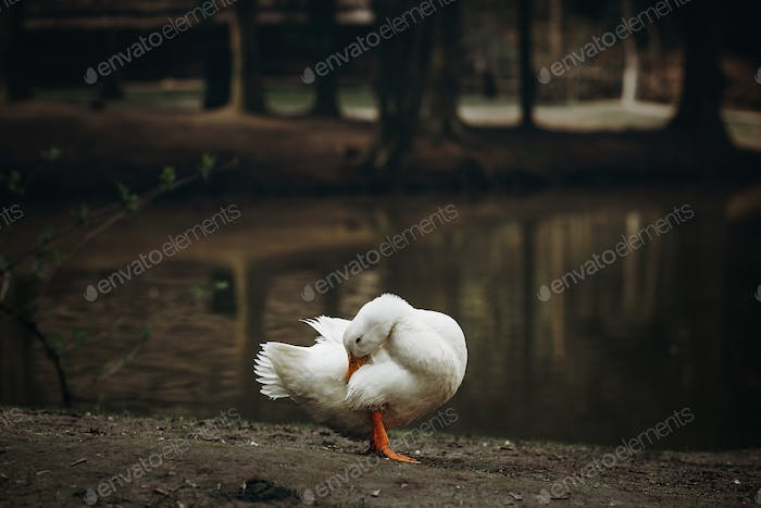 Cute white duck standing on dirt ground near pond in the countryside